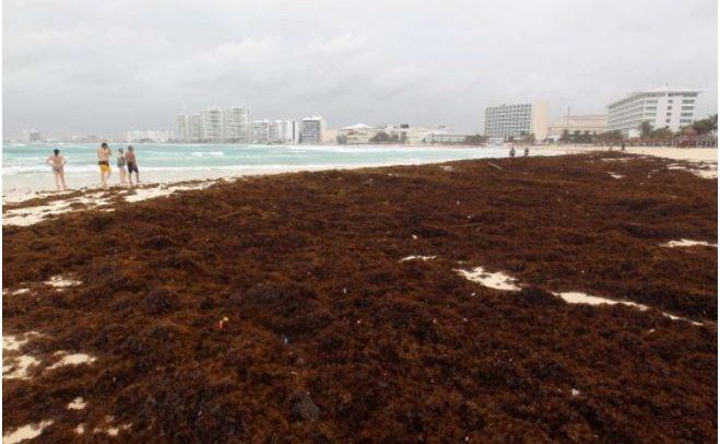 Scientists forecast new seaweed plague on Yucatan Peninsula beaches